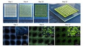 Bioprinting alghe tessuto umano 01